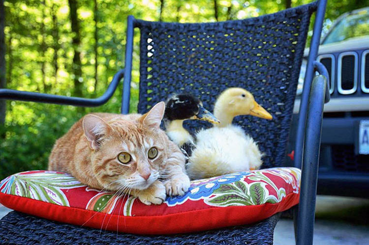 unusual-animal-friendship-dogs-cat-ducks-kasey-and-her-pack-vinegret (1)