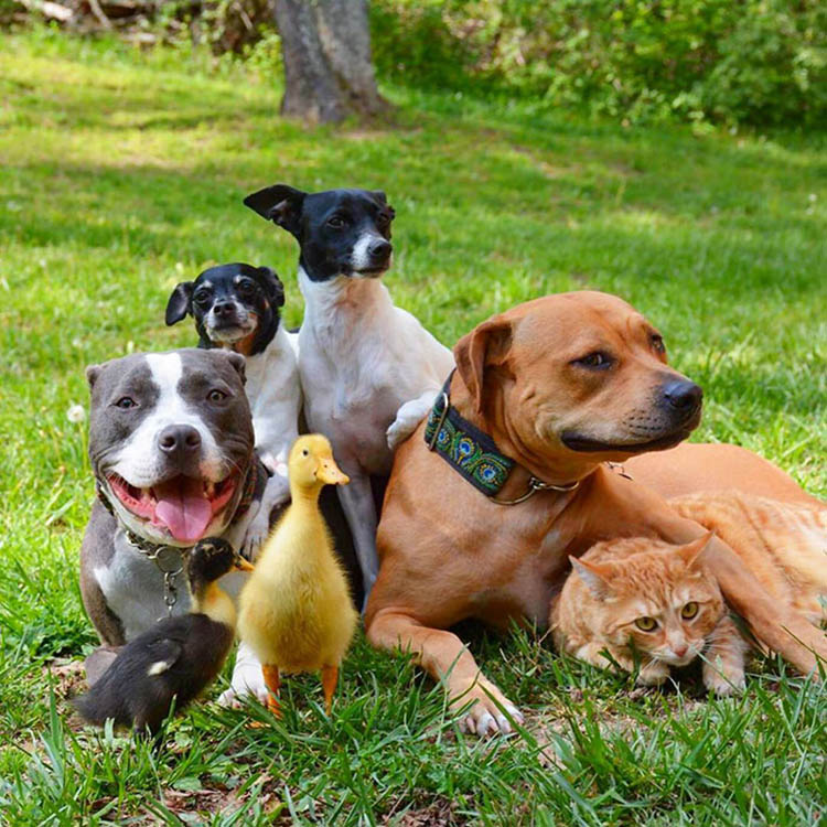unusual-animal-friendship-dogs-cat-ducks-kasey-and-her-pack-vinegret (11)