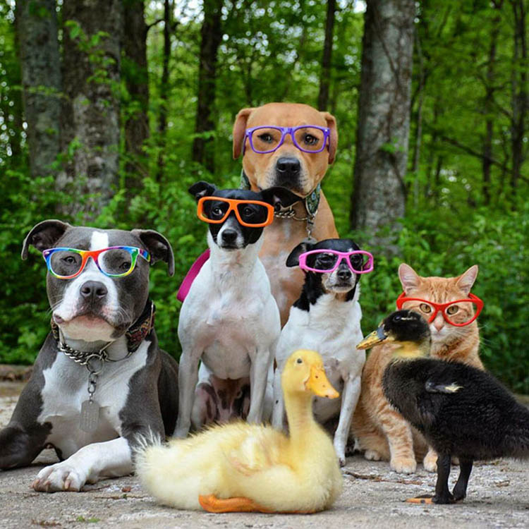 unusual-animal-friendship-dogs-cat-ducks-kasey-and-her-pack-vinegret (12)