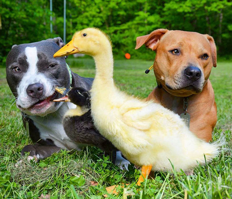 unusual-animal-friendship-dogs-cat-ducks-kasey-and-her-pack-vinegret (7)