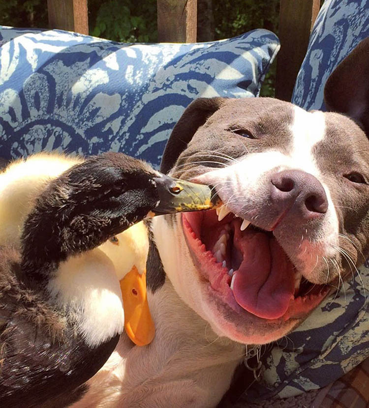 unusual-animal-friendship-dogs-cat-ducks-kasey-and-her-pack-vinegret (8)