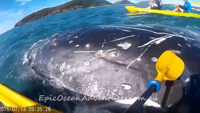 whale-asks-for-help-on-kayak-vinegret (5)