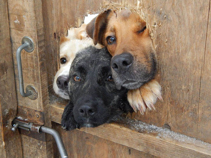funny-dogs-sticking-heads-through-fences-vinegret (11)