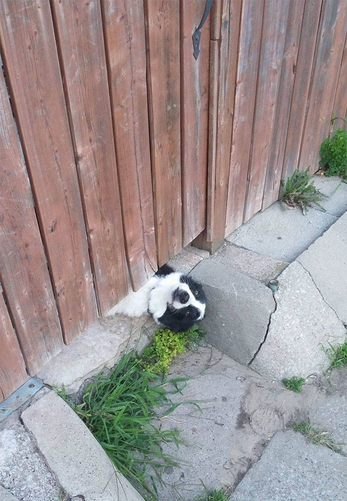 funny-dogs-sticking-heads-through-fences-vinegret (16)
