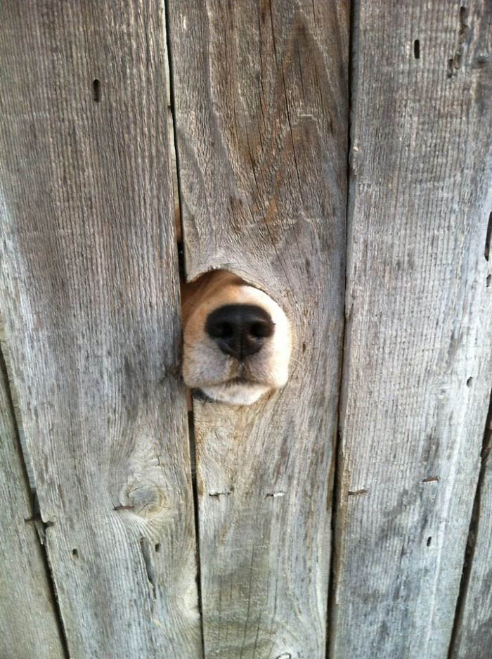 funny-dogs-sticking-heads-through-fences-vinegret (18)