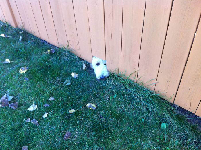 funny-dogs-sticking-heads-through-fences-vinegret (19)