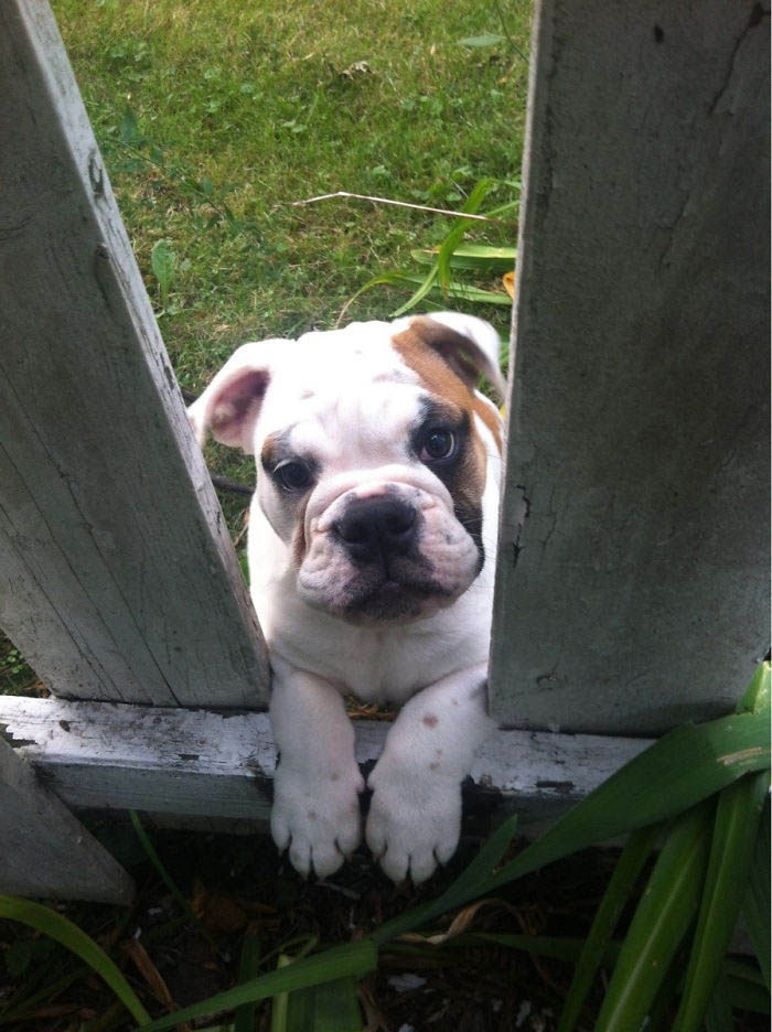 funny-dogs-sticking-heads-through-fences-vinegret (20)