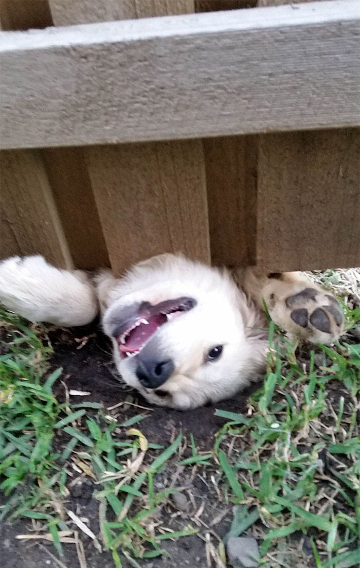 funny-dogs-sticking-heads-through-fences-vinegret (8)