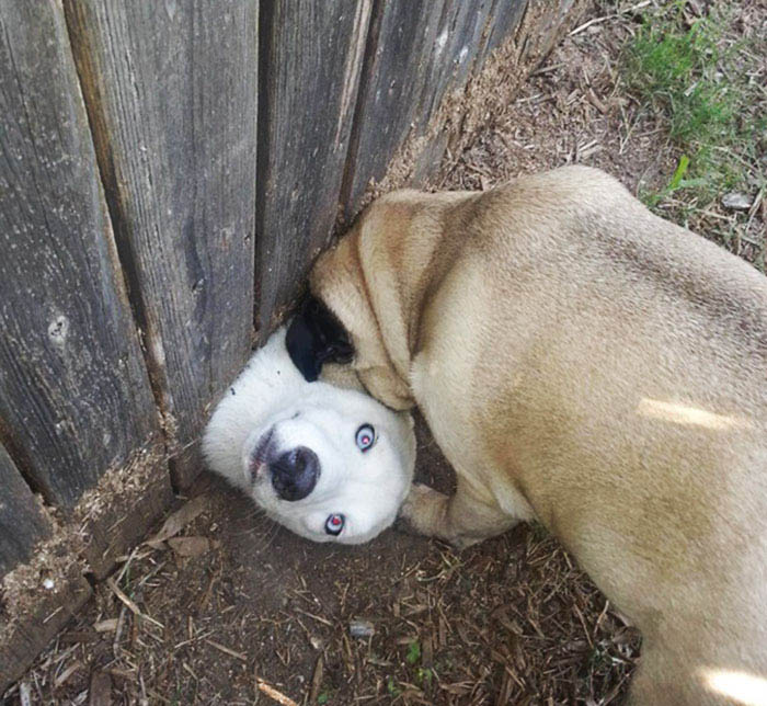 funny-dogs-sticking-heads-through-fences-vinegret (9)