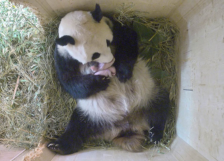 giant-panda-twins-birth-yang-yang-schonbrunn-zoo-vinegret (1)