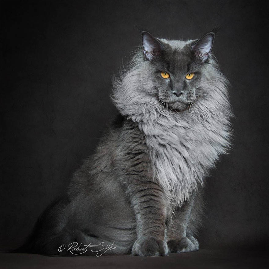 maine-coon-cat-photography-robert-sijka-vinegret (1)