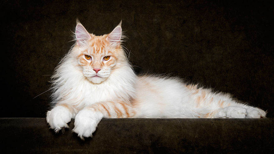 maine-coon-cat-photography-robert-sijka-vinegret (10)