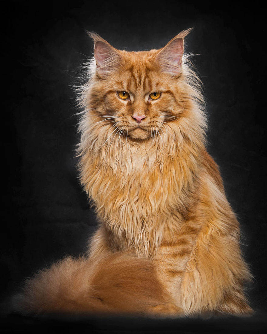 maine-coon-cat-photography-robert-sijka-vinegret (11)