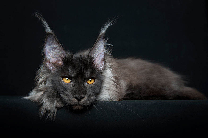 maine-coon-cat-photography-robert-sijka-vinegret (12)