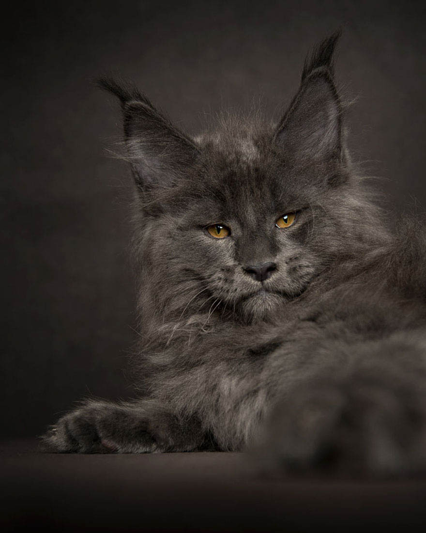 maine-coon-cat-photography-robert-sijka-vinegret (13)