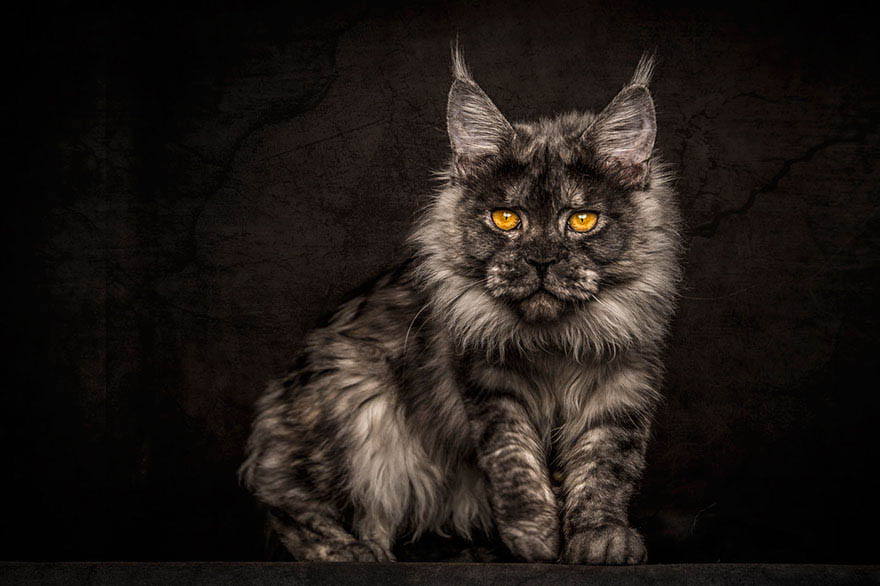 maine-coon-cat-photography-robert-sijka-vinegret (14)