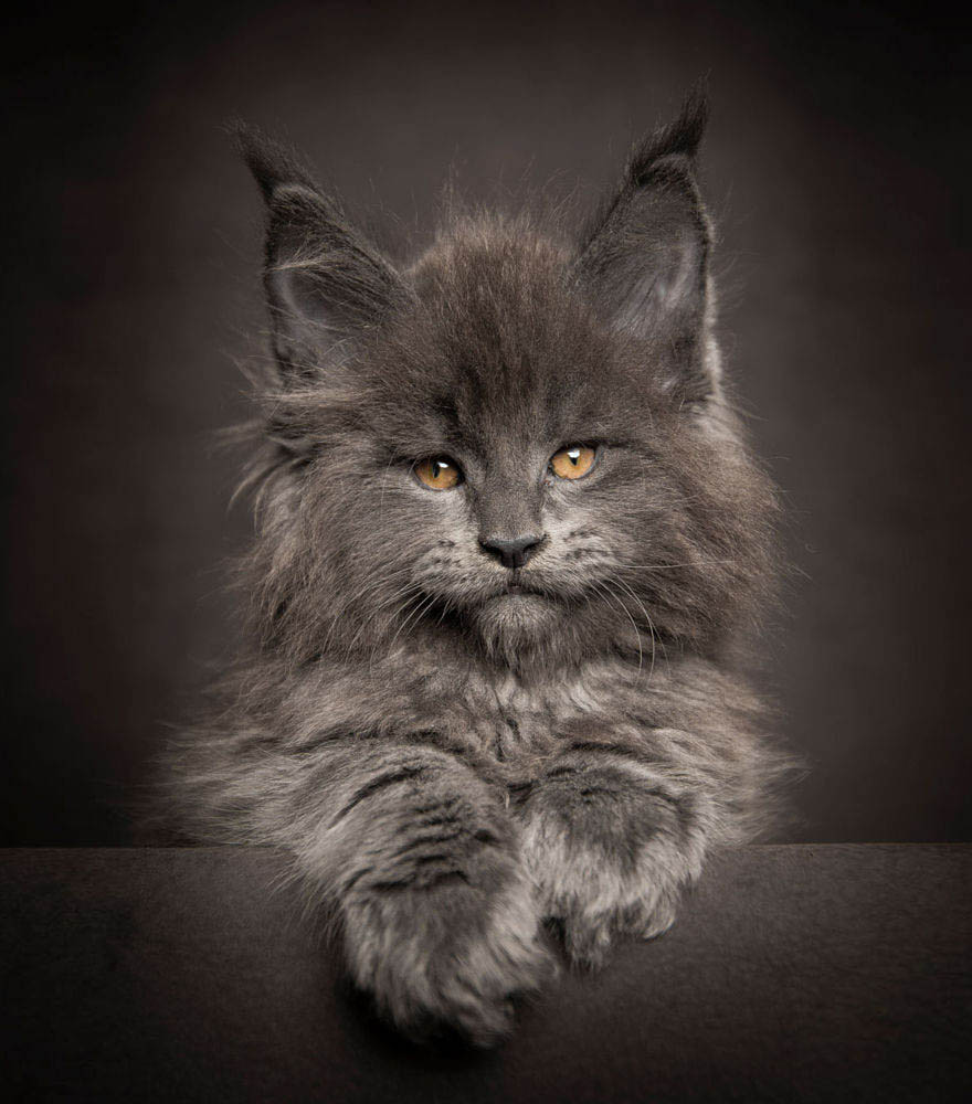 maine-coon-cat-photography-robert-sijka-vinegret (15)