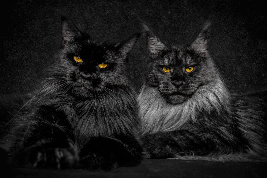 maine-coon-cat-photography-robert-sijka-vinegret (16)