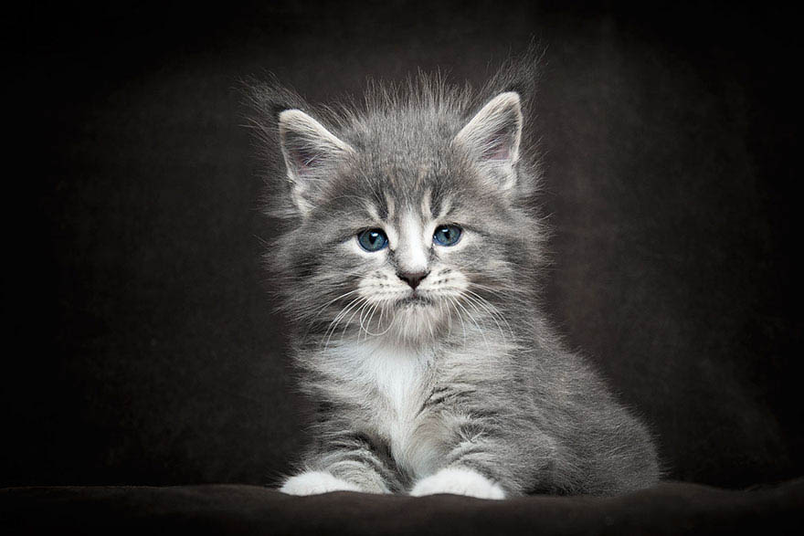 maine-coon-cat-photography-robert-sijka-vinegret (17)