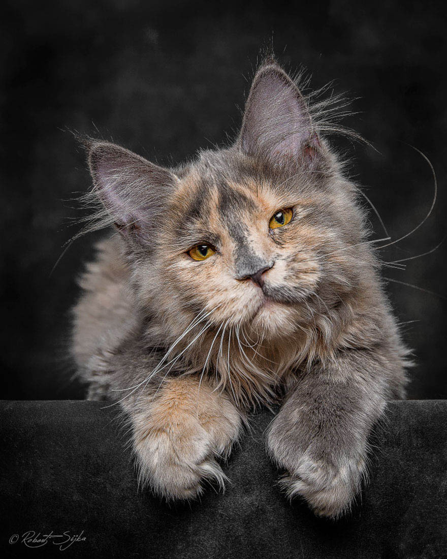 maine-coon-cat-photography-robert-sijka-vinegret (18)