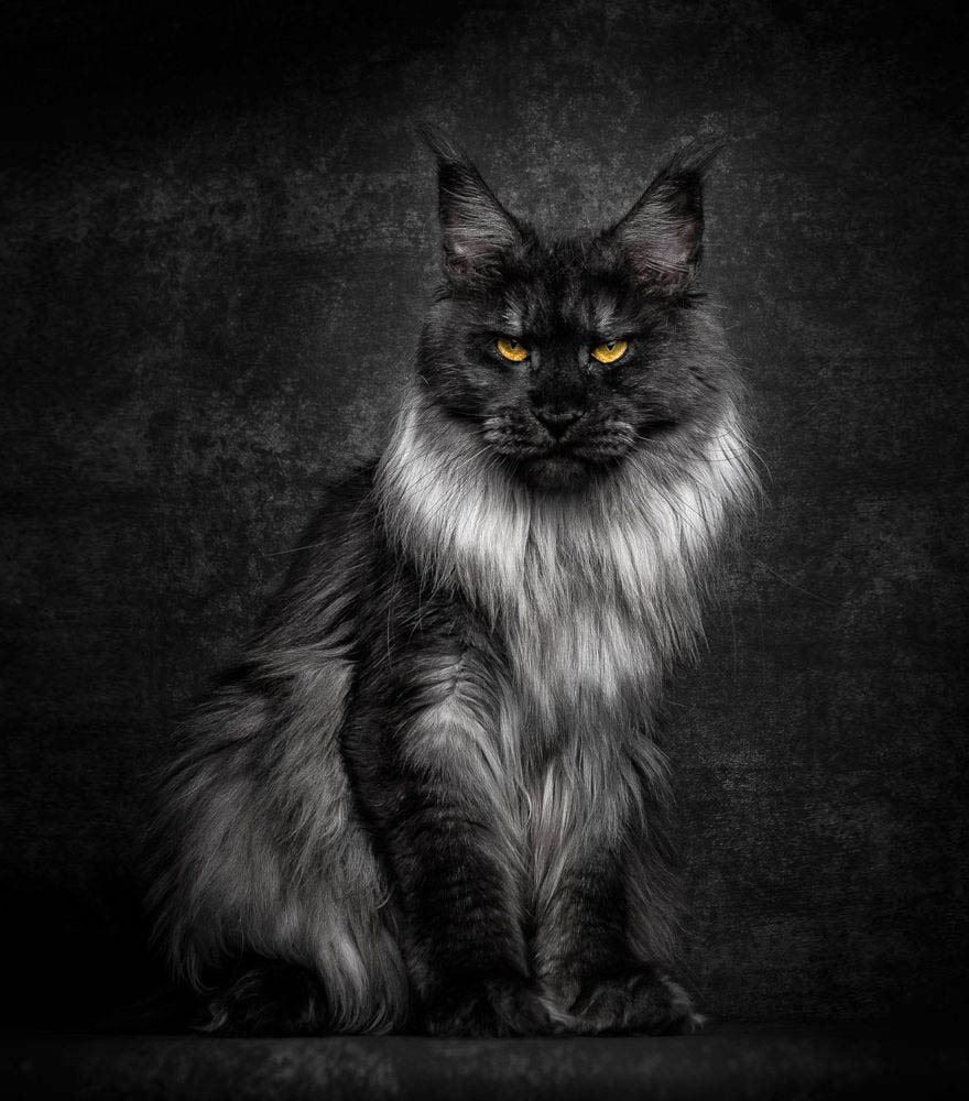 maine-coon-cat-photography-robert-sijka-vinegret (19)