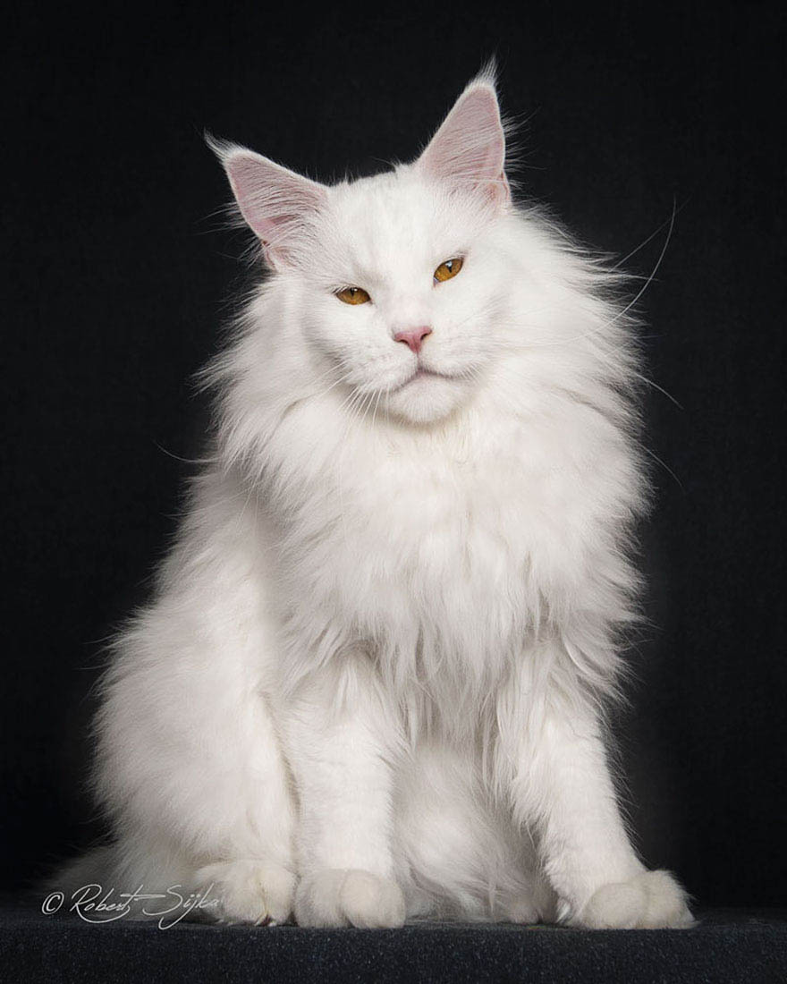 maine-coon-cat-photography-robert-sijka-vinegret (2)