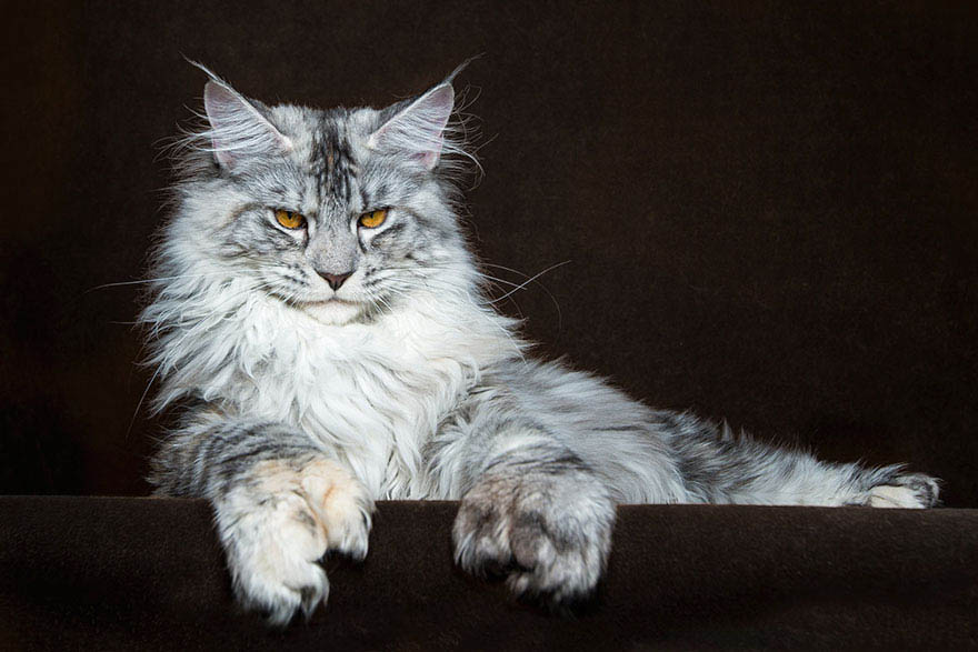 maine-coon-cat-photography-robert-sijka-vinegret (20)