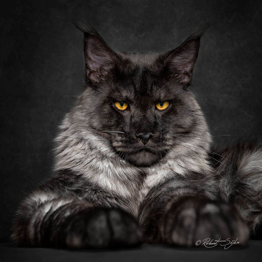 maine-coon-cat-photography-robert-sijka-vinegret (4)