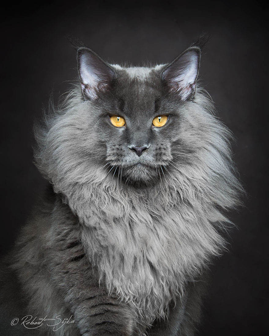 maine-coon-cat-photography-robert-sijka-vinegret (5)