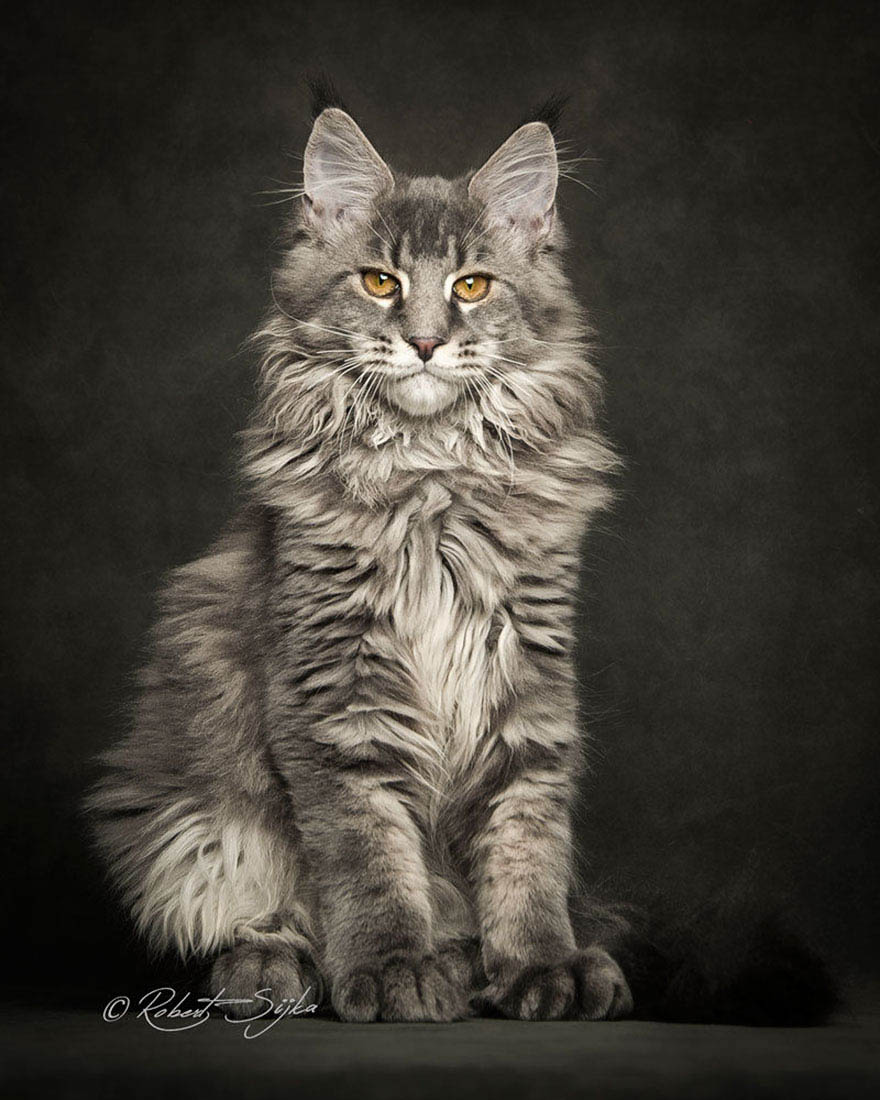 maine-coon-cat-photography-robert-sijka-vinegret (6)