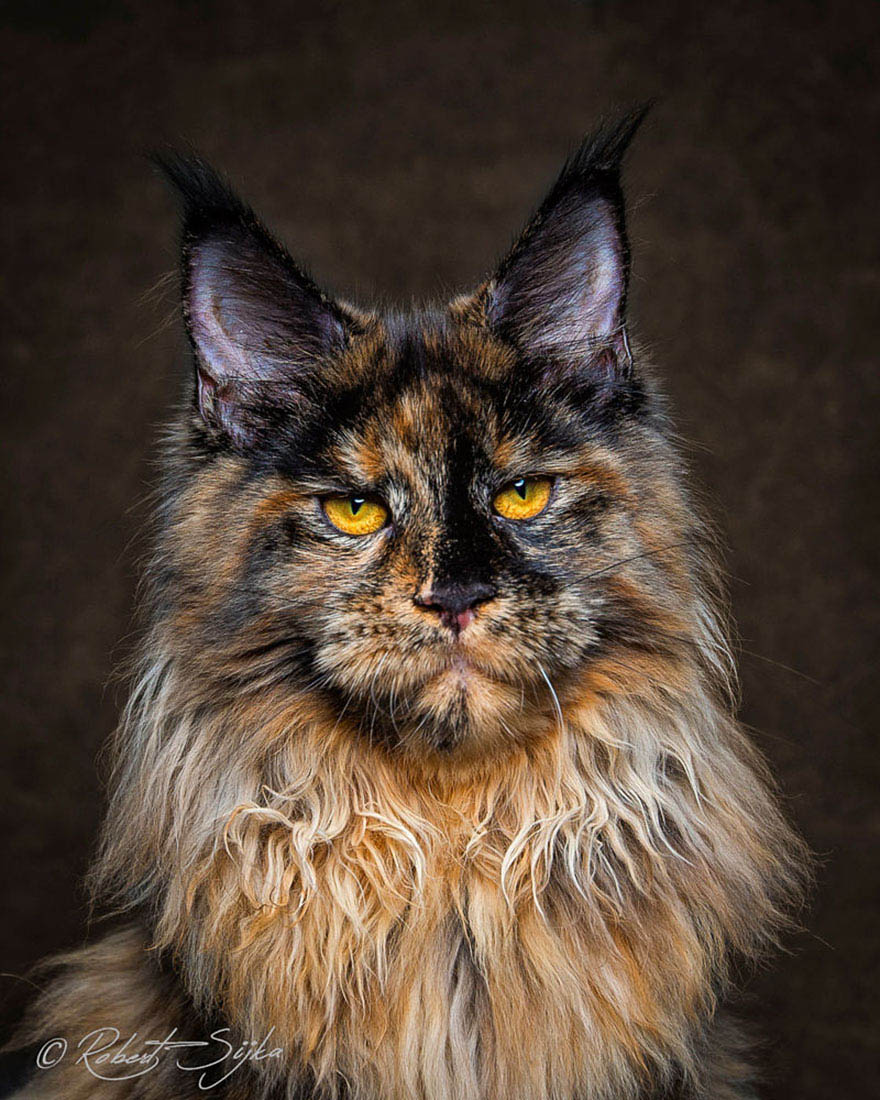 maine-coon-cat-photography-robert-sijka-vinegret (7)