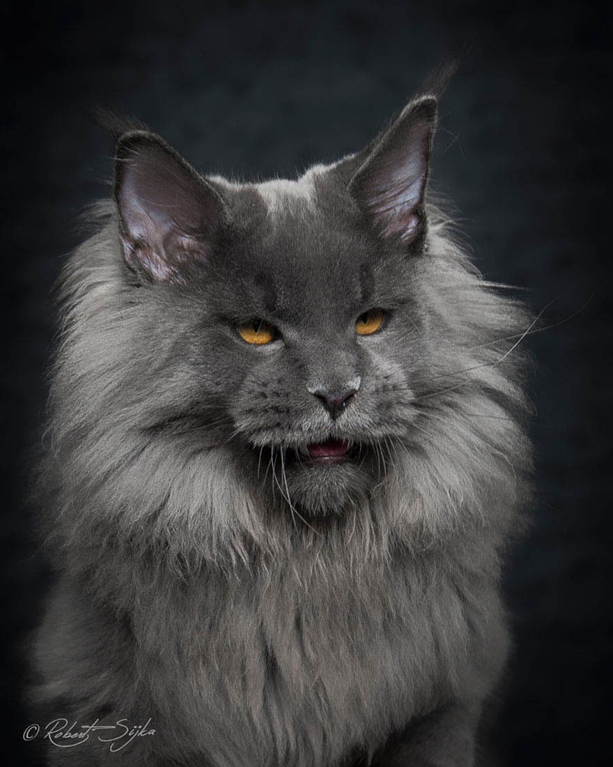 maine-coon-cat-photography-robert-sijka-vinegret (8)
