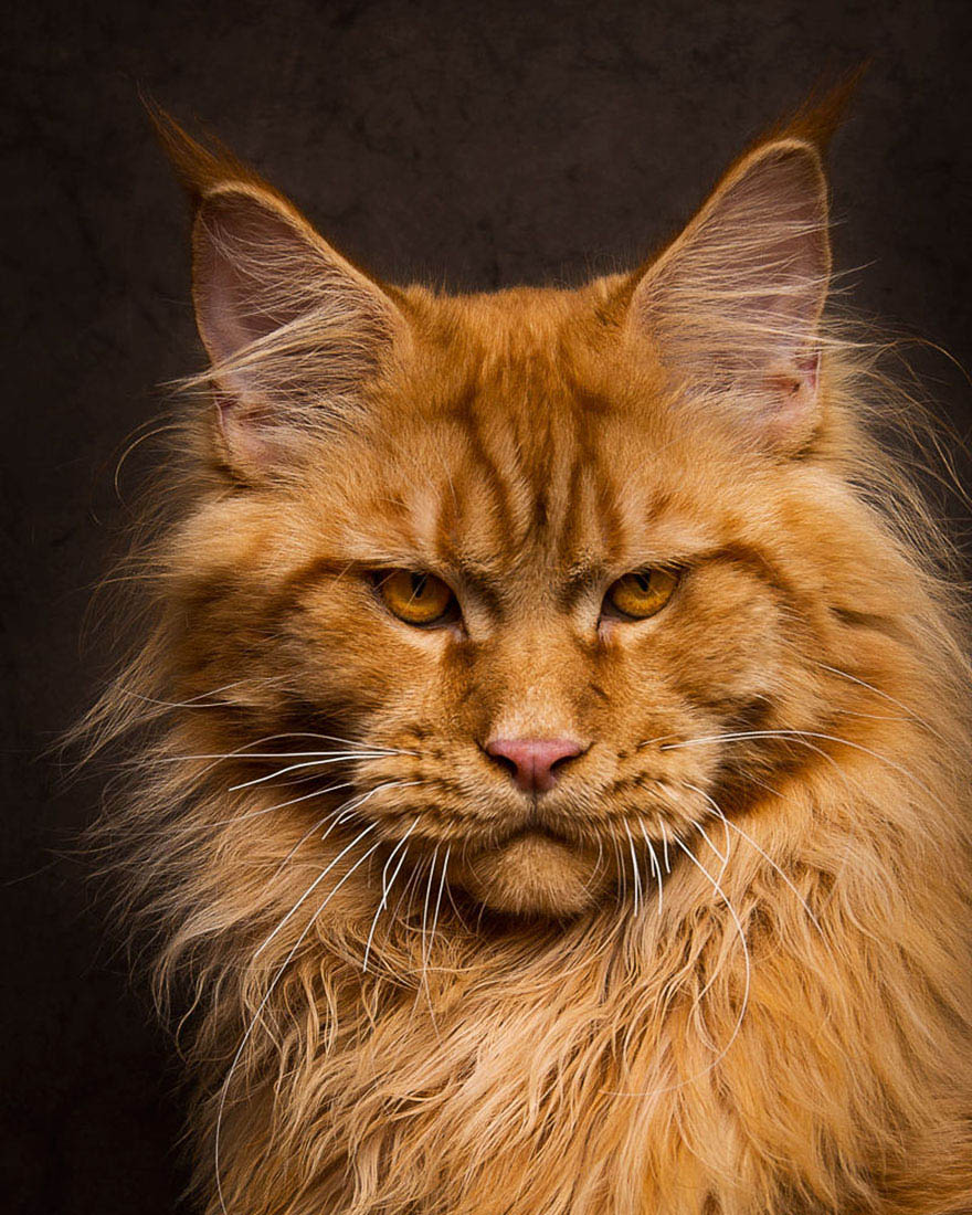 maine-coon-cat-photography-robert-sijka-vinegret (9)