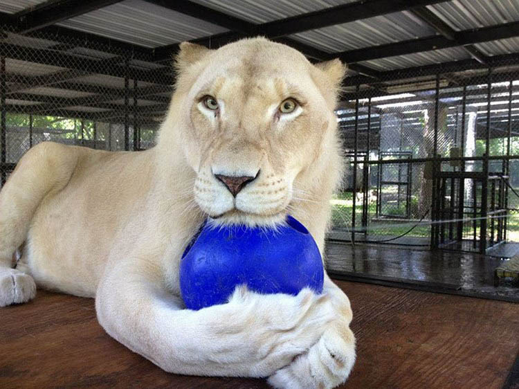rescue-lions-love-kahn-sheila-in-sync-exotics-vinegret (10)