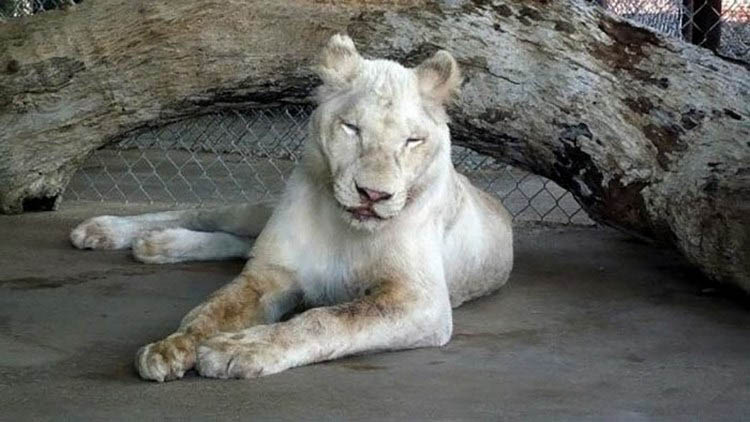 rescue-lions-love-kahn-sheila-in-sync-exotics-vinegret (12)