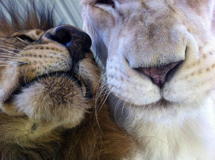 rescue-lions-love-kahn-sheila-in-sync-exotics-vinegret (3)