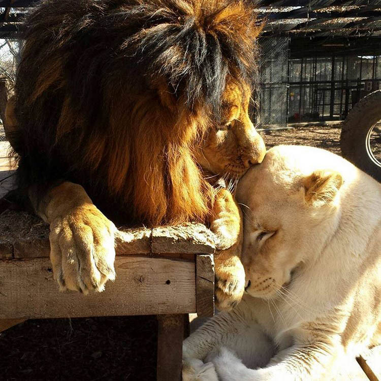 rescue-lions-love-kahn-sheila-in-sync-exotics-vinegret (4)
