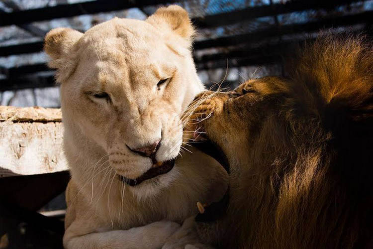 rescue-lions-love-kahn-sheila-in-sync-exotics-vinegret (6)