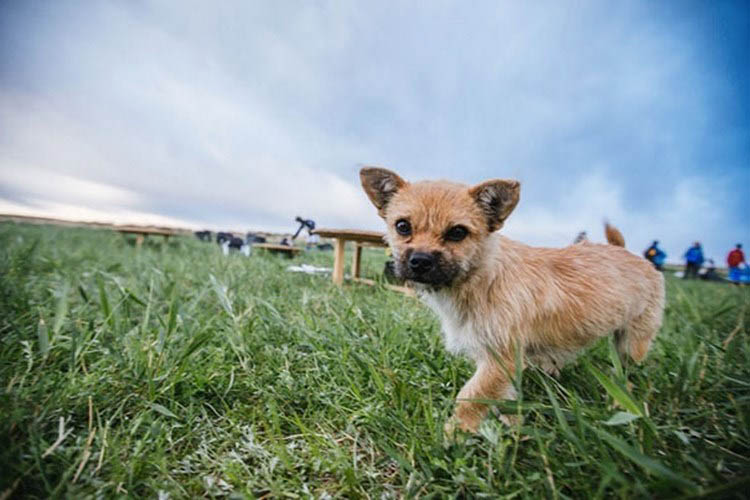 stray-dog-joins-race-gobi-dion-leonard-china-vinegret (1)