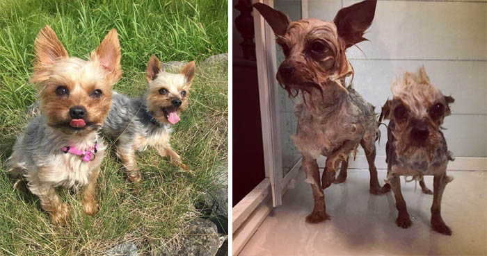wet-dogs-before-after-bath-vinegret (1)