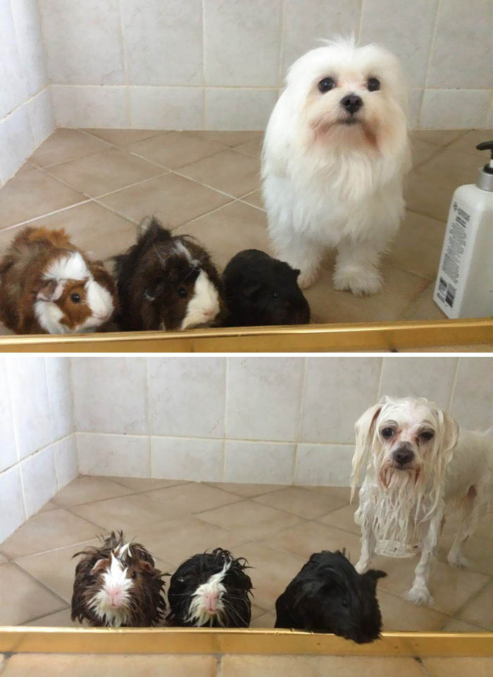 wet-dogs-before-after-bath-vinegret (12)