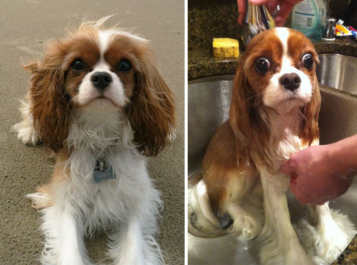 wet-dogs-before-after-bath-vinegret (14)