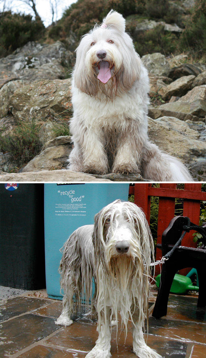 wet-dogs-before-after-bath-vinegret (15)