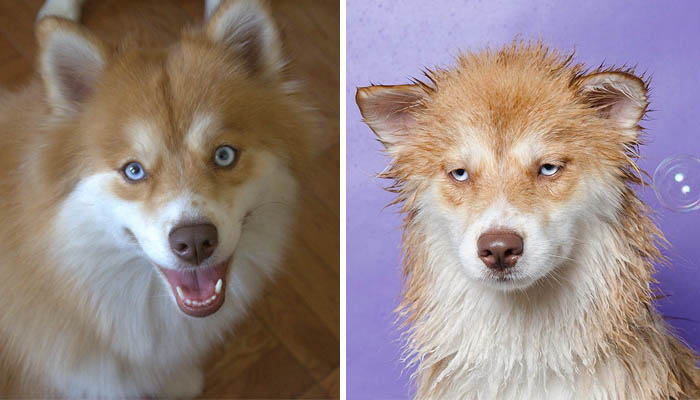 wet-dogs-before-after-bath-vinegret (3)