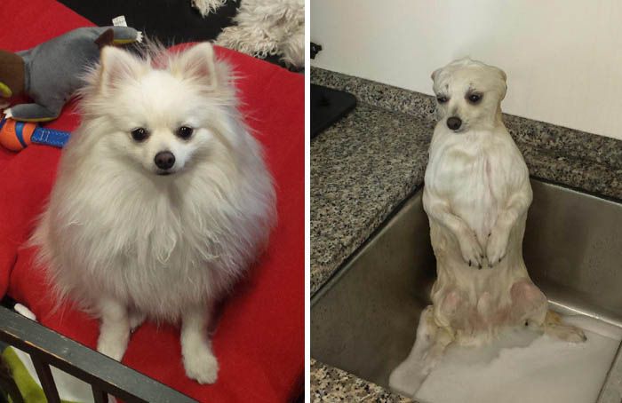 wet-dogs-before-after-bath-vinegret (6)