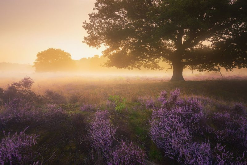 august-when-the-netherlands-turns-into-purple-dreamscapes-vinegret-10