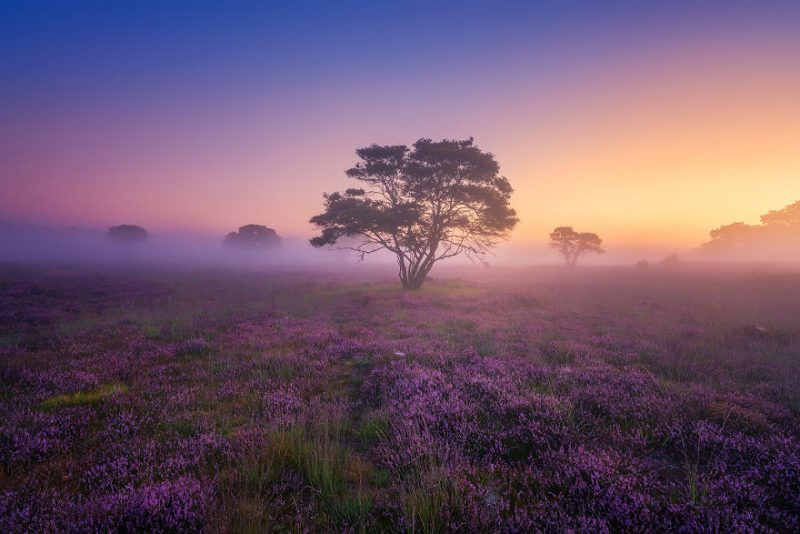 august-when-the-netherlands-turns-into-purple-dreamscapes-vinegret-4