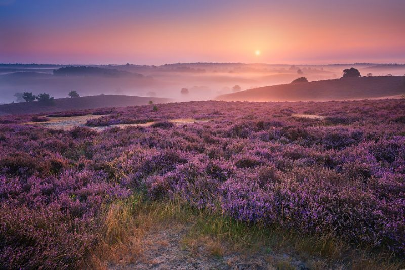 august-when-the-netherlands-turns-into-purple-dreamscapes-vinegret-6
