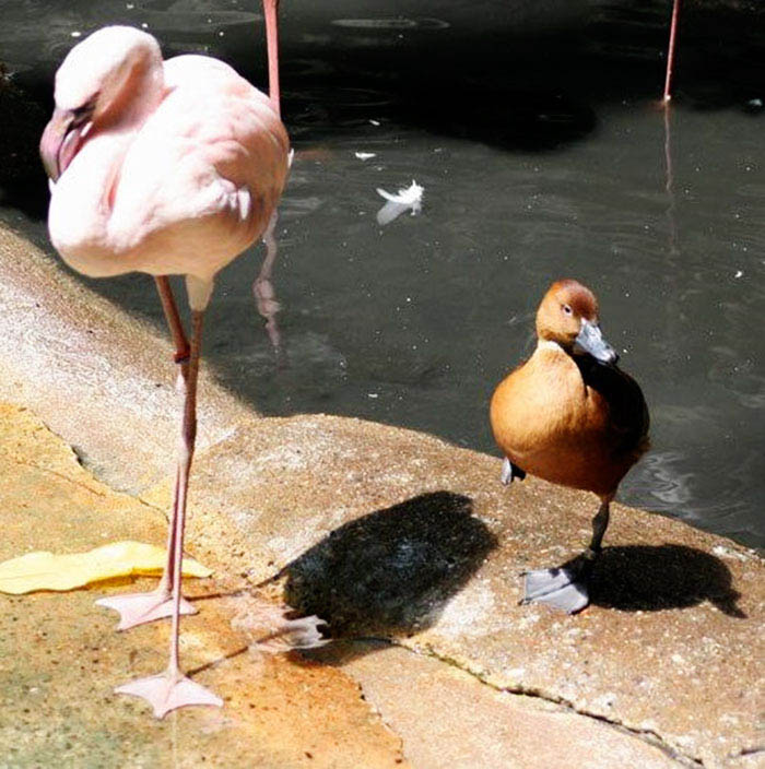 ducks-pretend-flamingos-vinegret-3