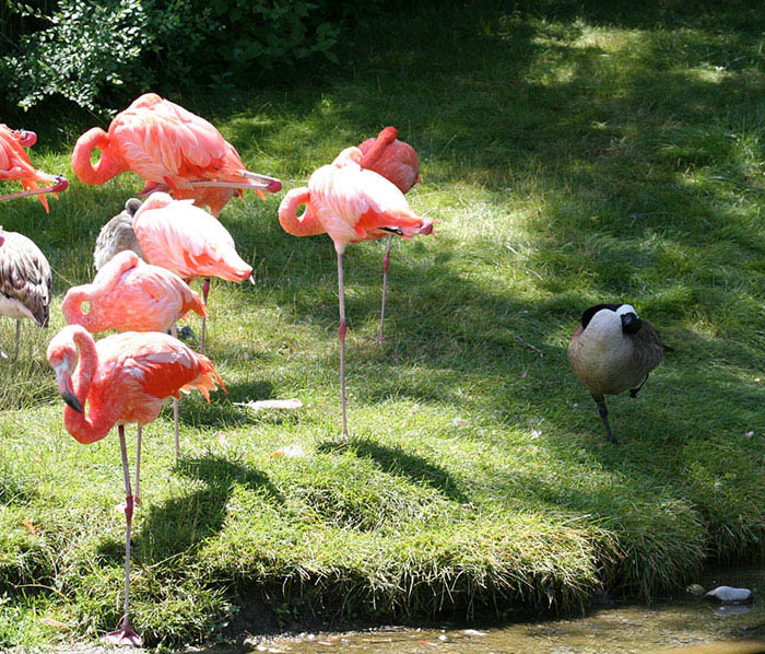 ducks-pretend-flamingos-vinegret-6